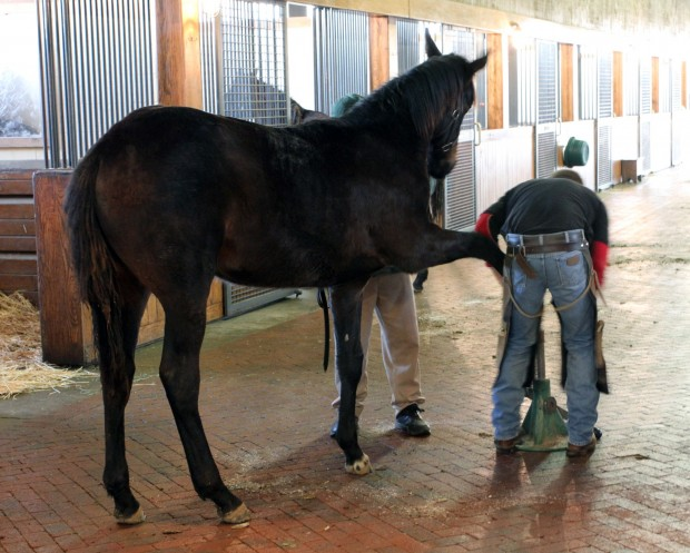 12Z having his feet trimmed by the blacksmith. Photo courtesy of Alys Emson/Lane's End