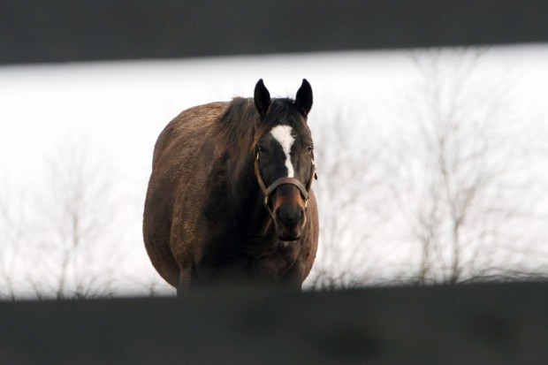 Zenyatta, January 2013. Photo courtesy of Alys Emson/Lane's End
