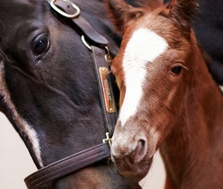 Zenyatta with her new colt. Photo by Kyle Acebo