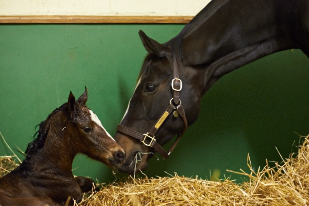 Zenyatta and her filly bond after an easy delivery. Photo by Kyle Acebo.