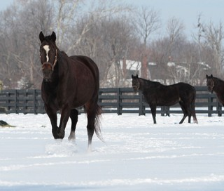 Zenyatta and paddock mates in the snow. Photo by Alys Emson
