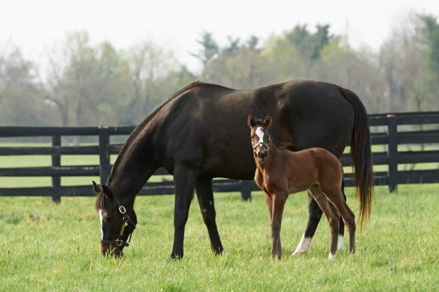 Zenyatta with her 2014 War Front filly, Z Princess. Photo by Kyle Acebo.