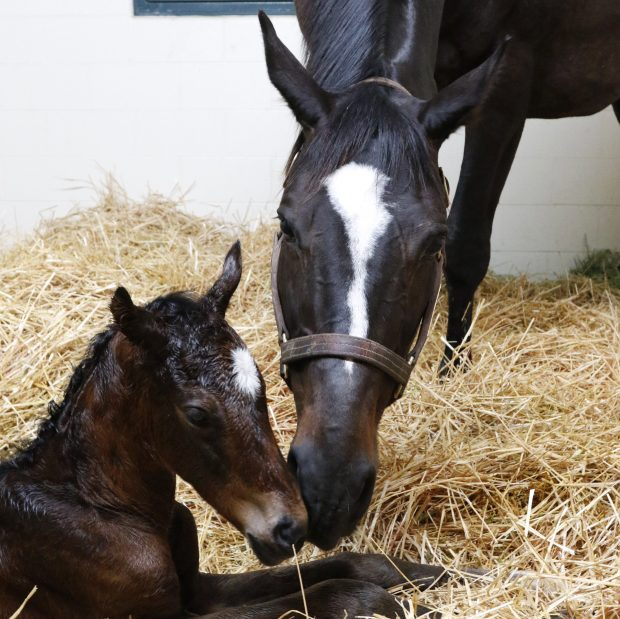 Zenyatta delivered a healthy filly by Medaglia d'Oro. Photo by Alys Emson/Lane's End Farm