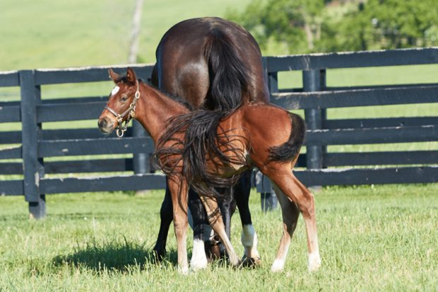 Zenyatta and her 2017 filly. Photo by Alys Emson/Lane's End Farm