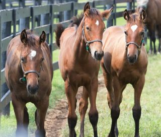Zenyatta's filly, left. Photo by Alys Emson