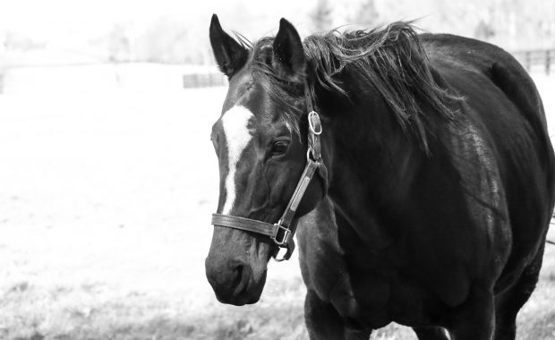 Zenyatta. Photo by Alys Emson/Lane's End Farm.